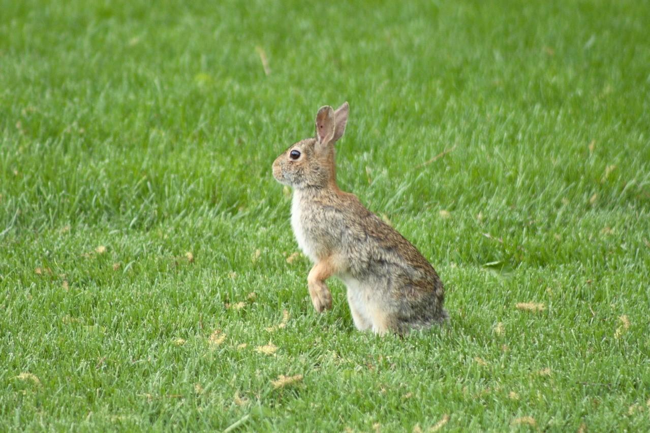 Siano dla królika